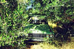 Car covered by olive plants. royalty free stock images