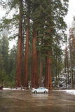 Car parked by the giant sequoia forest illustrates extreme height of these tall trees Royalty Free Stock Photos
