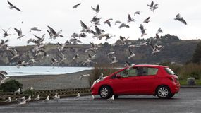 Car parked by the sea surrounded by seagulls Stock Photography