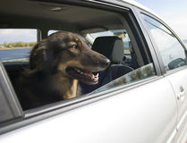 Car Ride for the Dog. Looking out the window Stock Images