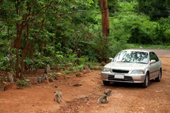 The car is surrounded by monkeys Stock Photography