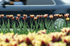 Car and tulips Royalty Free Stock Photo