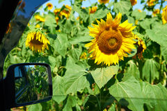 Car window and sunflower field, beautiful summer landscape, travel concept Stock Photo