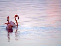 Caraïbisch Flamingo'shof op Gotomeer, Bonaire, Nederlandse Antillen stock foto's