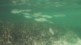 Caraïbisch strand en zwemmende vissen in de ertsader onderwater op hete de zomerdag stock video