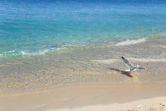 Caraïbisch turkoois water en wit zand Vliegende zeemeeuw stock foto