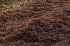 Caraïbisch zandig die strand door het zeewier van sargassoalgen in Tulum Mexico wordt behandeld stock foto's