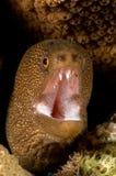 Caraïbische bruine moray Royalty-vrije Stock Foto