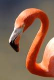 Caraïbische Flamingo Royalty-vrije Stock Foto's