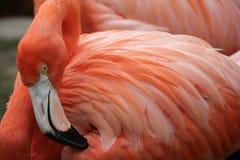 Caraïbische Flamingo Royalty-vrije Stock Afbeelding