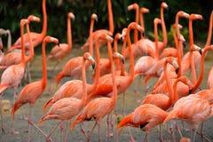 Caraïbische flamingo's Royalty-vrije Stock Fotografie