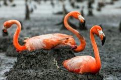 Caraïbische flamingo's op de nesten Stock Afbeeldingen