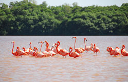 Caraïbische Flamingo in Yucatan Royalty-vrije Stock Fotografie