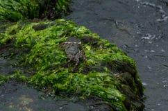 Caraïbische Krab stock afbeelding