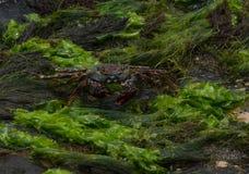 Caraïbische Krab stock afbeeldingen