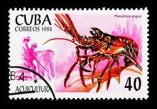 Caraïbische Langoest Panulirus argus, Aquicultuur serie, circa 1994 stock afbeeldingen