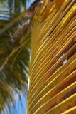 Caraïbische palm Stock Afbeeldingen
