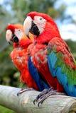 Caraïbische papegaaien Stock Foto's