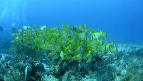 Caraïbische Porkfish stock footage