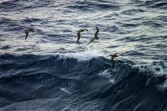 Caraïbische zeemeeuwen Royalty-vrije Stock Foto's