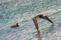 Caraïbische zeemeeuwen Stock Foto