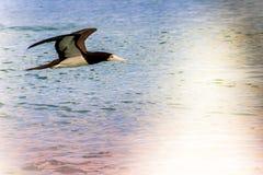Caraïbische zeemeeuwen Stock Afbeeldingen