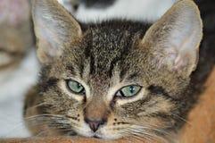 Cara agujereada del gato Imagen de archivo libre de regalías