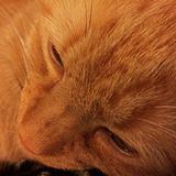 Cara alaranjada do gato malhado Imagens de Stock