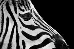Cara alerta de la cebra Fotografía de archivo libre de regalías