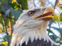 Cara americana da águia Foto de Stock Royalty Free