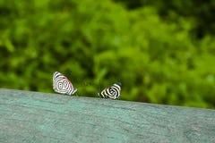 Cara-Apagado de 88 y pocas mariposas de Calllicore Foto de archivo