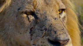 Cara ascendente próxima do leão masculino africano selvagem, savana, África foto de stock