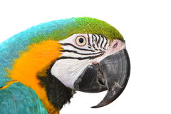 Cara azul y amarilla del Macaw en un fondo blanco Imagenes de archivo