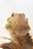 Cara barbuda del dragón Fotos de archivo libres de regalías