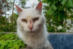 Cara blanca del gato imagen de archivo libre de regalías