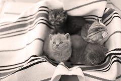 Cara bonito, gatinhos recentemente carregados que olham acima Imagem de Stock