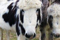 Cara branca do asno que olha fixamente na câmera Fotografia de Stock Royalty Free