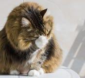 Cara branca marrom adorável da limpeza do gatinho foto de stock royalty free