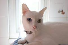 A cara branca pura Siamese dos gatos Os olhos impares do gato têm um olho dourado e um azul um Animal bonito do conceito Foto de Stock