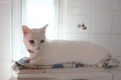 A cara branca pura Siamese dos gatos Os olhos impares do gato têm um olho dourado e um azul um Animal bonito do conceito Imagens de Stock Royalty Free