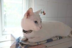 A cara branca pura Siamese dos gatos Os olhos impares do gato têm um olho dourado e um azul um Animal bonito do conceito Foto de Stock Royalty Free