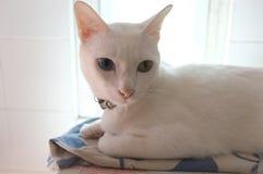 A cara branca pura Siamese dos gatos Os olhos impares do gato têm um olho dourado e um azul um Animal bonito do conceito Imagem de Stock Royalty Free