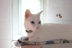 A cara branca pura Siamese dos gatos Os olhos impares do gato têm um olho dourado e um azul um Animal bonito do conceito Fotos de Stock Royalty Free
