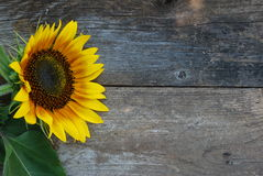 Cara brillante del girasol Imagen de archivo libre de regalías