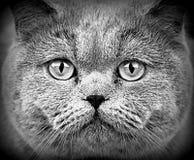 Cara britânica do gato Fotografia de Stock