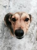Cara canino foto de stock royalty free
