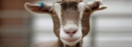 Cara a cara com uma cabra marrom e branca bonito Imagens de Stock Royalty Free