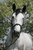Cara a cara retrato de um cavalo cinzento do puro-sangue contra natural Foto de Stock Royalty Free