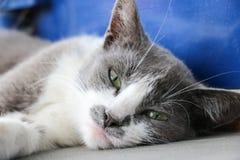 Cara cinzenta do gato Fotografia de Stock