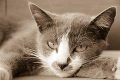 Cara cinzenta do gato Foto de Stock
